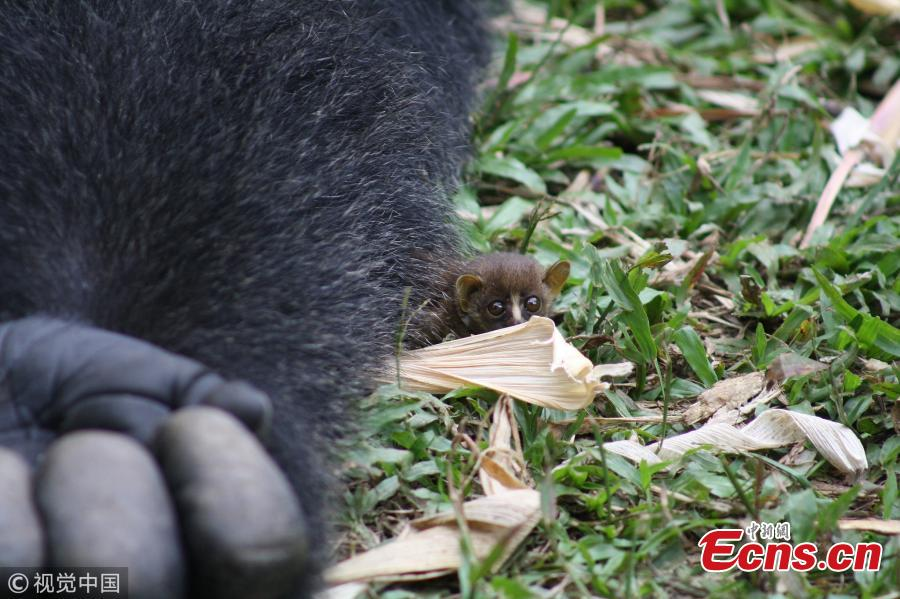 Adorable photos capture Bobo, a Western Lowland gorilla who weighs about 200kg, cupping his hands to cradle a tiny little bush baby - which is so small it is barely the size of the gorilla\'s finger. The 24-year-old gorilla even let the little bush baby crawl around his body after the pair struck up the heartwarming friendship. These photos were captured by photographer Alex Benitez at Mefou Primate Sanctuary, Cameroon, which is run by the animal conservation charity Ape Action Africa. (Photo/VCG)