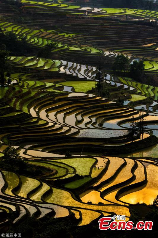 Terraced rice fields shine under the setting sun, as captured by 35-year-old photographer Kah-Wai Lin in Yuanyang, Southwest China's Yunnan Province. The spectacular rice-paddy terracing is a famous site among photography tourists. (VCG)
