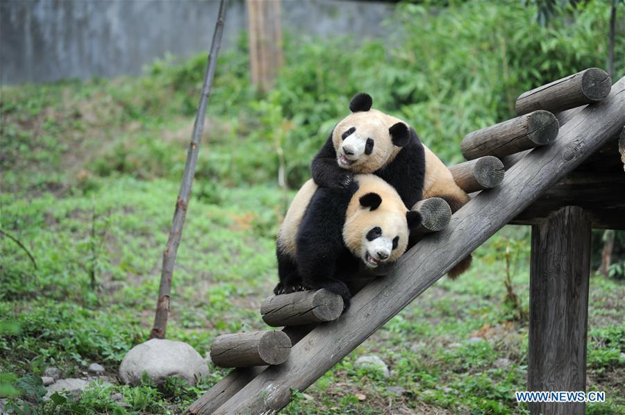 Giant panda cubs Lu Lu (L) and Qiang Sheng play at the Shaanxi Rare Wild Animals Rescue and Breeding Research Center in northwest China\'s Shaanxi Province, Sept. 7, 2018. Four giant panda cubs, born at the center in 2017, grow well now. (Xinhua/Zhang Bowen)