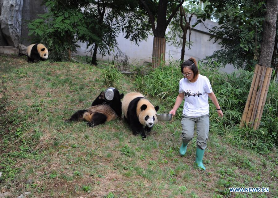 A staff member feeds giant panda cub Lu Lu at the Shaanxi Rare Wild Animals Rescue and Breeding Research Center in northwest China\'s Shaanxi Province, Sept. 7, 2018. Four giant panda cubs, born at the center in 2017, grow well now. (Xinhua/Zhang Bowen)