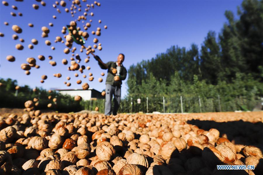 A farmer dries harvested walnuts in Shiqiaotou Village, Zunhua City, north China\'s Hebei Province, Sept. 7, 2018. (Xinhua/Liu Mancang)