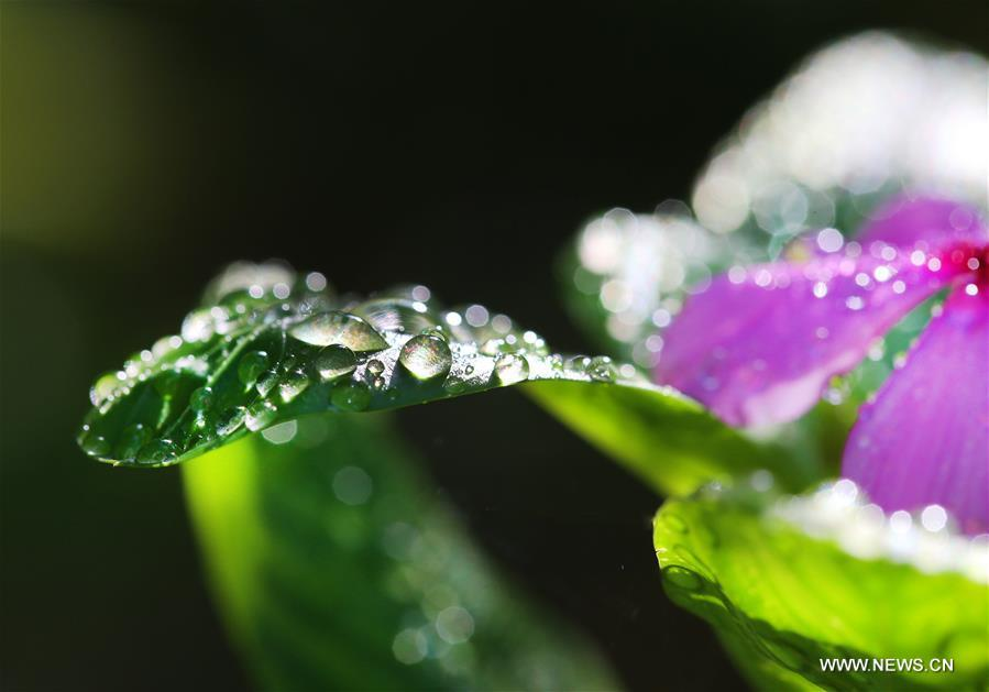 Dewdrops are seen on the leaves at a park in Nantong City, east China\'s Jiangsu Province, Sept. 8, 2018. (Xinhua/Xu Congjun)