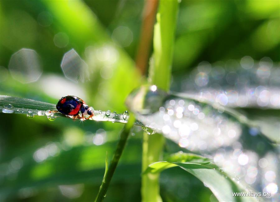 A ladybug and dewdrops are seen on the leaves at a park in Nantong City, east China\'s Jiangsu Province, Sept. 8, 2018. (Xinhua/Xu Congjun)