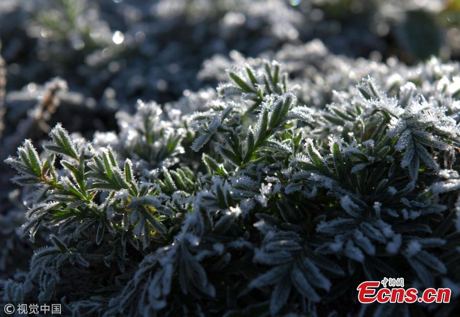 Plants and flowers are covered by frost in Hulun Buir, North China's Inner Mongolia Autonomous Region, Sept. 9, 2018. A cold front brought sub-zero temperatures to large parts of the city, including temperatures as low as minus 13.3 degrees centigrade in some towns. (Photo/VCG)