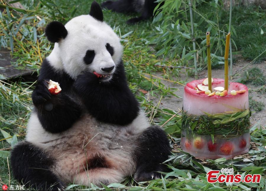 Female panda \