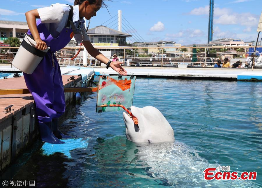 A Beluga whale paints a picture with a special paintbrush at the Hakkeijima Sea Paradise aquarium in Yokohama, Japan, Sept. 9, 2018. (Photo/IC)