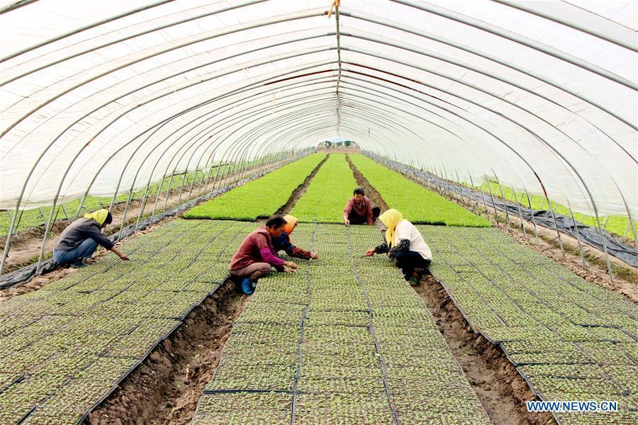 Farmers arrange Chinese cabbage seedlings in a greenhouse in Yangzhou City, east China\'s Jiangsu Province, Sept. 11, 2018. (Xinhua/Shen Dongbing)