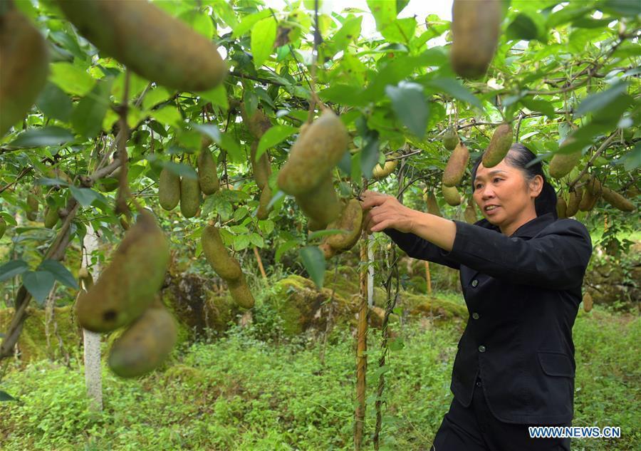 A farmer picks melons in Xuan\'en County, Enshi of central China\'s Hubei Province, Sept. 11, 2018. (Xinhua/Wang Jun)