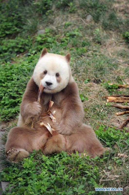 Qizai, a rare brown and white giant panda, eats bamboo shoots at Shaanxi rare wild animals rescuing and raising research center in Xi\'an, northwest China\'s Shaanxi Province, Sept. 7, 2018. Qizai belongs to a subspecies that are more commonly referred to as Qinling pandas in reference to the isolated Qinling Mountains where they have been spotted. (Xinhua/Zhang Bowen)