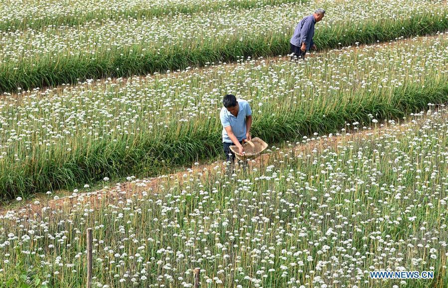 Farmers pick leek flowers in Lucun Town of Zibo City, east China\'s Shandong Province, Sept. 10, 2018. (Xinhua/Zhao Dongshan)