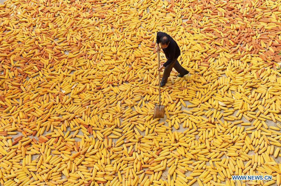 A farmer dries corns in Xipo Village, Zibo City of east China\'s Shandong Province, Sept. 10, 2018. (Xinhua/Zhao Dongshan)