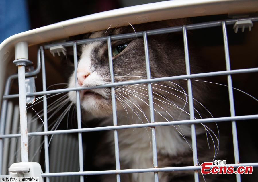 A long-haired tabby cat pushes against the crate door during the unloading of 26 cats and dogs from a van at Humane Rescue Alliance in Washington, Sept. 11, 2018, from Norfolk Animal Care and Control of Norfolk, Va., in advance of Hurricane Florence. People aren\'t the only ones evacuating to get out of the path of Hurricane Florence. The dogs and cats will all be available for adoption. (Photo/Agencies)