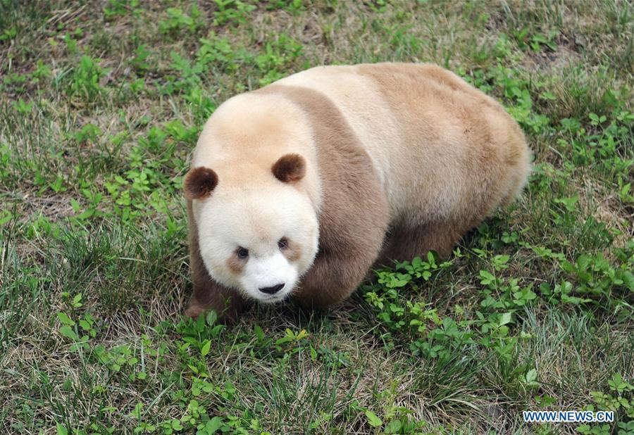 Qizai, a rare brown and white giant panda, is seen at Shaanxi rare wild animals rescuing and raising research center in Xi\'an, northwest China\'s Shaanxi Province, Sept. 7, 2018. Qizai belongs to a subspecies that are more commonly referred to as Qinling pandas in reference to the isolated Qinling Mountains where they have been spotted. (Xinhua/Zhang Bowen)