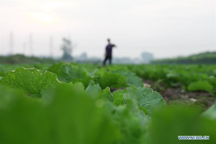 A farmer arranges cabbage in the field in Mafang Village, Tangshan City of north China\'s Hebei Province, Sept. 11, 2018. (Xinhua/Liu Mancang)