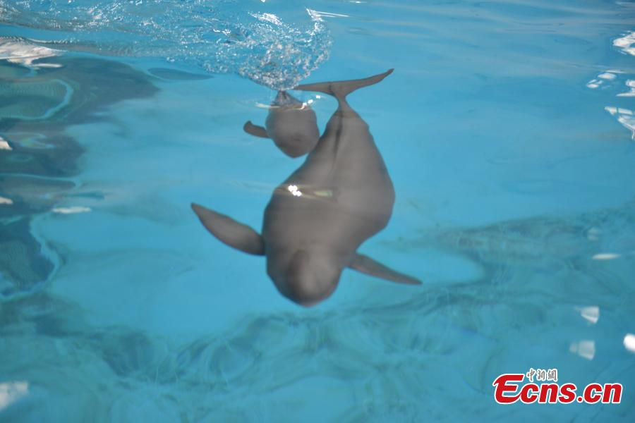A little Yangtze finless porpoise is seen swimming with its mother at the Institute of Hydrobiology under Chinese Academy of Sciences in Wuhan, central China\'s Hubei Province, Sept. 10, 2018. The little porpoise, reproduced via an artificial breeding program, the second of its case, was born on June 2, 2018. It has grown up healthy and sound for a hundred days. (Photo provided to China News Service)