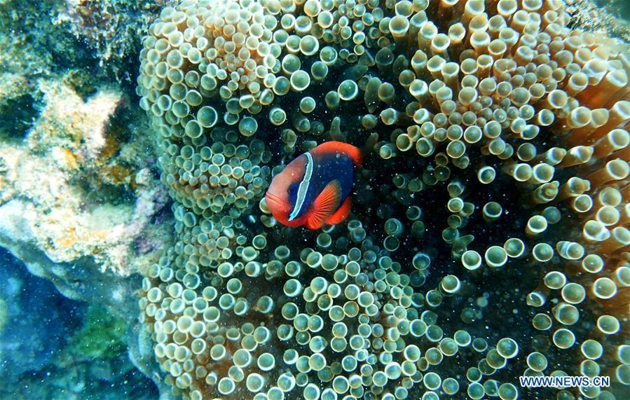 A clownfish swims around sea anemones at the sea area of Fenjiezhou Island in south China\'s Hainan Province, Sept. 12, 2018. People on the Island have devoted to the protection and nurturing of corals for more than a decade. Under guidance of marine experts, they put man-made reefs under sea to create growing conditions for corals, which in turn improves the habitat for fish. The ecosystem of coral reef around the Island is preserved well now. (Xinhua/Ding Xu)