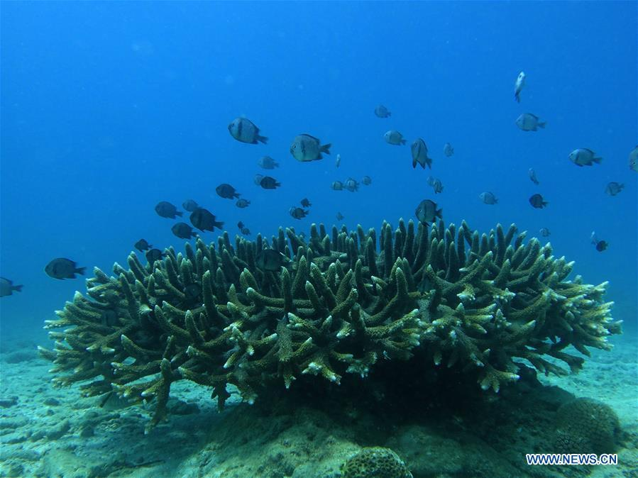 Fishes swim over staghorn corals at the sea area of Fenjiezhou Island in south China\'s Hainan Province, Sept. 12, 2018. People on the Island have devoted to the protection and nurturing of corals for more than a decade. Under guidance of marine experts, they put man-made reefs under sea to create growing conditions for corals, which in turn improves the habitat for fish. The ecosystem of coral reef around the Island is preserved well now. (Xinhua/Yang Guanyu)