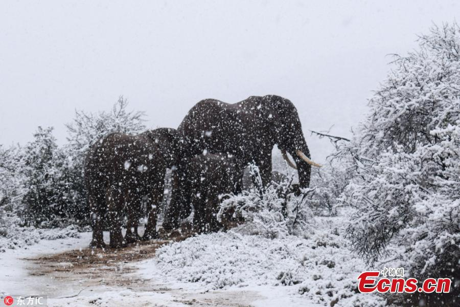 Kitty Viljoen, who lives in Eastern Cape, captured images of giraffes, lions, elephants and wildebeest making their way through the wintry landscape after South Africa experienced an unexpected cold snap. (Photo/IC)