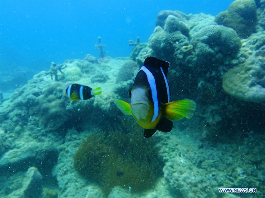 Clownfishes swim around the man-restored coral reefs at the sea area of Fenjiezhou Island in south China\'s Hainan Province, Sept. 12, 2018. People on the Island have devoted to the protection and nurturing of corals for more than a decade. Under guidance of marine experts, they put man-made reefs under sea to create growing conditions for corals, which in turn improves the habitat for fish. The ecosystem of coral reef around the Island is preserved well now. (Xinhua/Ding Xu)