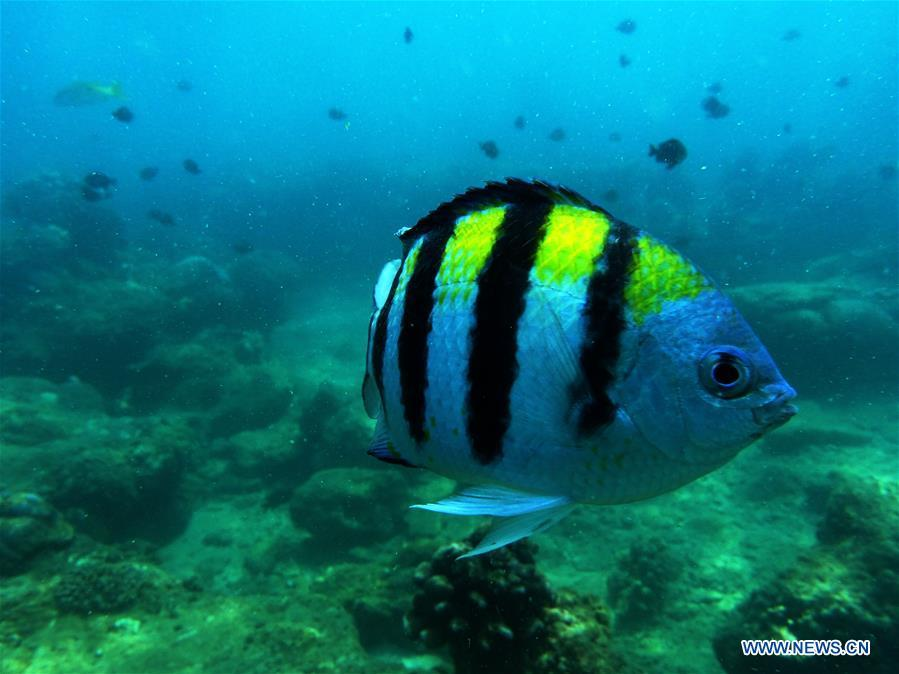 A damselfish swims at the sea area of Fenjiezhou Island in south China\'s Hainan Province, Sept. 12, 2018. People on the Island have devoted to the protection and nurturing of corals for more than a decade. Under guidance of marine experts, they put man-made reefs under sea to create growing conditions for corals, which in turn improves the habitat for fish. The ecosystem of coral reef around the Island is preserved well now. (Xinhua/Guo Cheng)