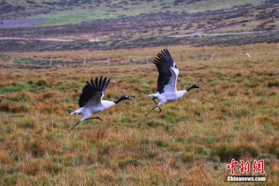 Black-necked cranes, under first-class state protection, are seen at a grassland in Sunan Yugur Autonomous County, Northwest China's Gansu Province, Sept. 12, 2018. The estimated population of the black-necked cranes in the county has risen thanks to increased efforts in environmental protection. (Photo: China News Service/An Jianbin)