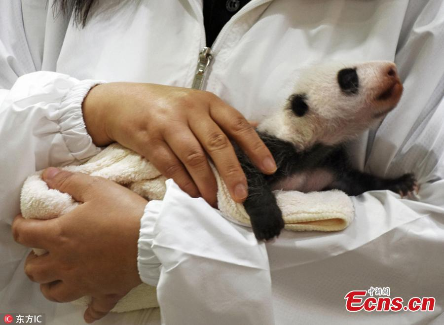 A staff holds a newly born Giant Panda cub at Adventure World on September 13, 2018 in Shirahama, Wakayama, Japan. The panda cub will meet tourists twice a day, at 10:15 to 10:35 in the morning and 14:40 to 15:00 in the afternoon local time. The panda cub was born on August 14, as 16th panda born at the zoo, weighed only 75 grams. (Photo/IC)