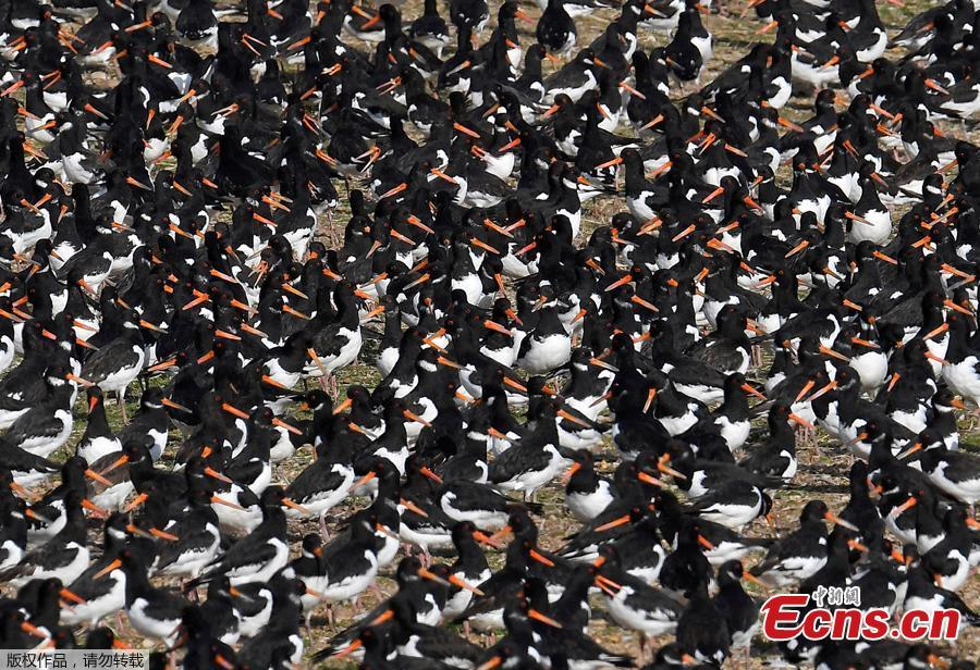 Thousands of wading birds including Oystercatchers fly onto dry sandbanks during the month\'s highest tides at The Wash estuary, near Snettisham in Norfolk, Britain, September 13, 2018.(Photo/Agencies)