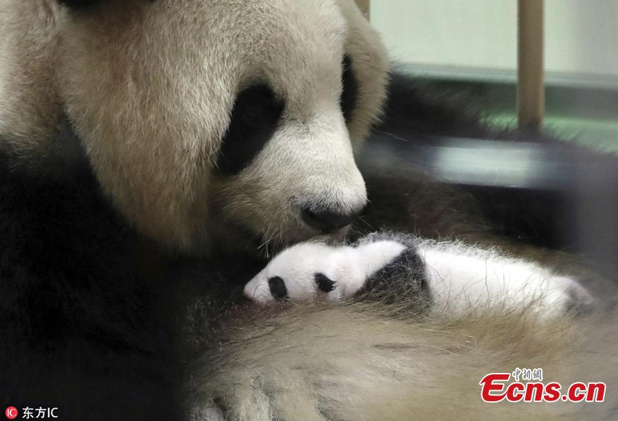 Giant panda Rauhin licks her newly born baby at Adventure World  in Shirahama, Wakayama, Japan on September 13, 2018. The panda cub will meet tourists twice a day, at 10:15 to 10:35 in the morning and 14:40 to 15:00 in the afternoon local time. The panda cub was born on August 14, as 16th panda born at the zoo, weighed only 75 grams. (Photo/IC)