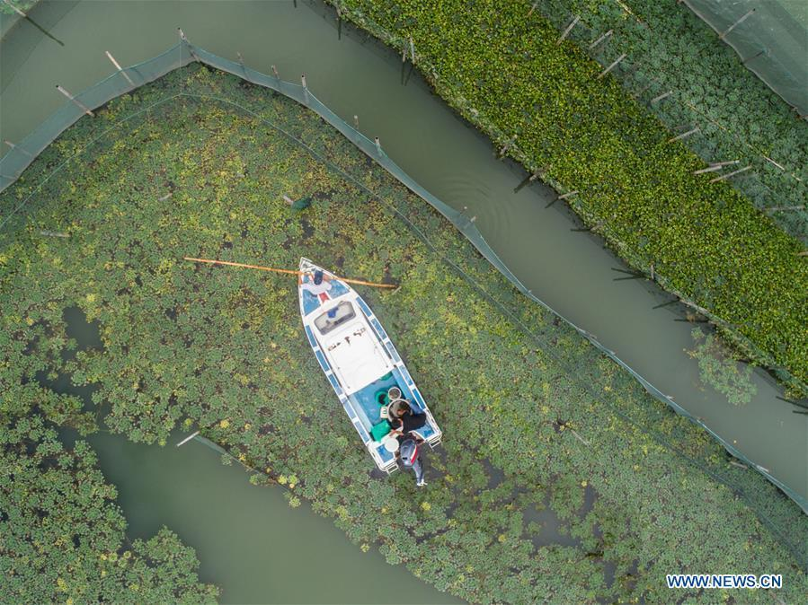 A fishing boat sails in an aquatic farm of Taihu Lake in Huzhou, east China\'s Zhejiang Province, Sept. 16, 2018. Local farmers were busy with their work in harvest season of the Taihu Lake crab. The ecological environment of the Taihu Lake was improved due to continuous efforts of local government. (Xinhua/Xu Yu)