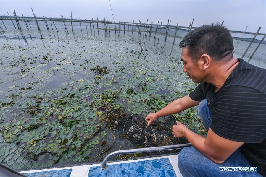 A farmer pulls up fishing net in an aquatic farm of Taihu Lake in Zhili Township of Huzhou, east China\'s Zhejiang Province, Sept. 16, 2018. Local farmers were busy with their work in harvest season of the Taihu Lake crab. The ecological environment of the Taihu Lake was improved due to continuous efforts of local government. (Xinhua/Xu Yu)