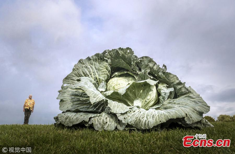 Ian Neale with his winning heaviest in class giant cabbage, which weighed 30.2kg. (Photo/VCG)