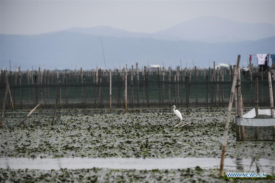 An egret is seen in an aquatic farm of Taihu Lake in Huzhou, east China\'s Zhejiang Province, Sept. 16, 2018. Local farmers were busy with their work in harvest season of the Taihu Lake crab. The ecological environment of the Taihu Lake was improved due to continuous efforts of local government. (Xinhua/Xu Yu)
