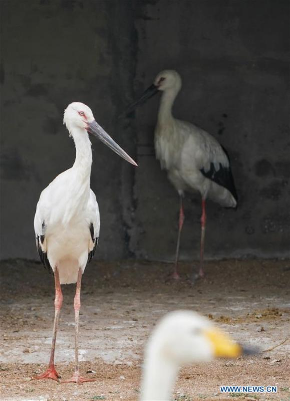 Photo taken on Sept. 15, 2018 shows an oriental white stork at Caofeidian wetland and birds natural reserve in north China\'s Hebei Province. Two injured oriental white storks will be soon released into the wild upon their full recovery. The two birds were rescued by the administration of the natural reserve in October of 2017. The oriental white storks are listed as endangered species that are under first-class national protection. (Xinhua/Xing Guangli)