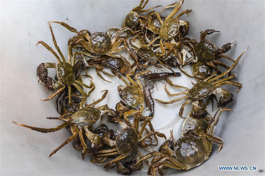 Photo taken on Sept. 16, 2018 shows newly-caught Taihu Lake crabs in Huzhou, east China\'s Zhejiang Province. Local farmers were busy with their work in harvest season of the Taihu Lake crab. The ecological environment of the Taihu Lake was improved due to continuous efforts of local government. (Xinhua/Xu Yu)