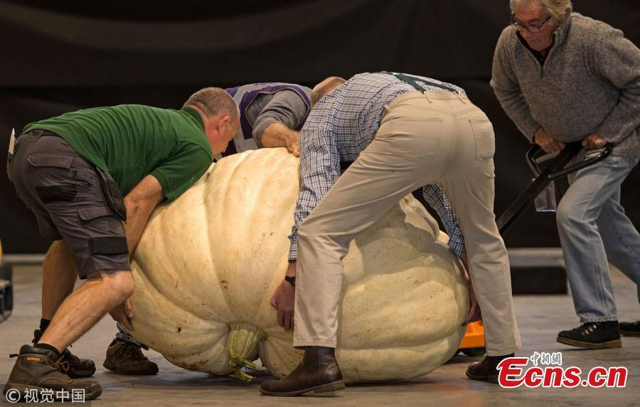 Staff wrestle with a pumpkin to weigh it.  (Photo/VCG)
