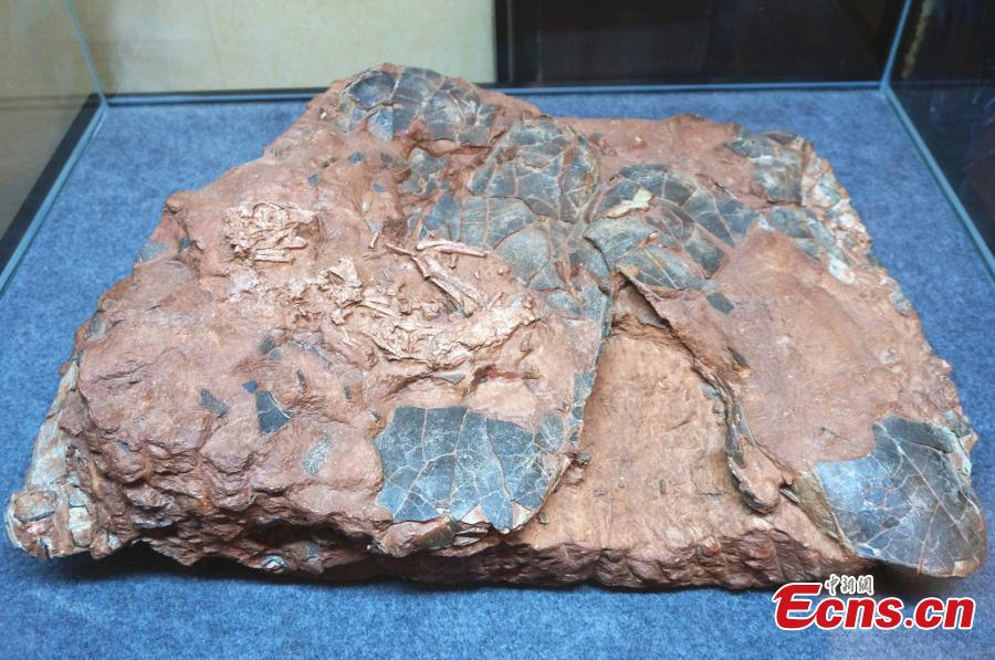Beibeilong sinensis fossil is on display at a hotel in the city of Zhengzhou, capital of central China\'s Henan Province, on September 17, 2018. A collection of fossils returned from overseas has been displayed at a hotel in Zhengzhou on Monday. The Beibeilong sinensis fossil, a kind of dinosaur egg excavated in Henan in 1993, attracted the most attention among visitors. Measuring 118 cm long, it dates back at least 86 million years and was overseas for more than 20 years. In 2013, the fossil was returned to China and displayed in the Henan Geological Museum. (Photo: China News Service/ Han Zhangyun)