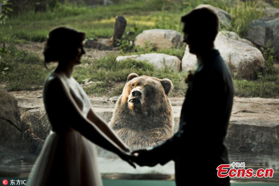A bear witnessed a couple\'s wedding — and was apparently less than pleased by the experience. The couple tied the knot at the Minnesota Zoo in Apple Valley and got to take photos inside the facility, with a Russian grizzly bear in the background. While the smitten couple held hands and exchanged a kiss, the bear pulled a series of hilarious faces, making it look as though it was completely heartbroken by the scene unfolding before its eyes. (Photo/IC)