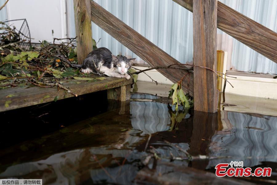 A soaked cat rests at the entrance to a trailer home after swimming there through floodwaters, before eventually being rescued, as the Northeast Cape Fear River breaks its banks after Hurricane Florence in Burgaw, North Carolina, U.S., Sept. 16, 2018. (Photo/Agencies)