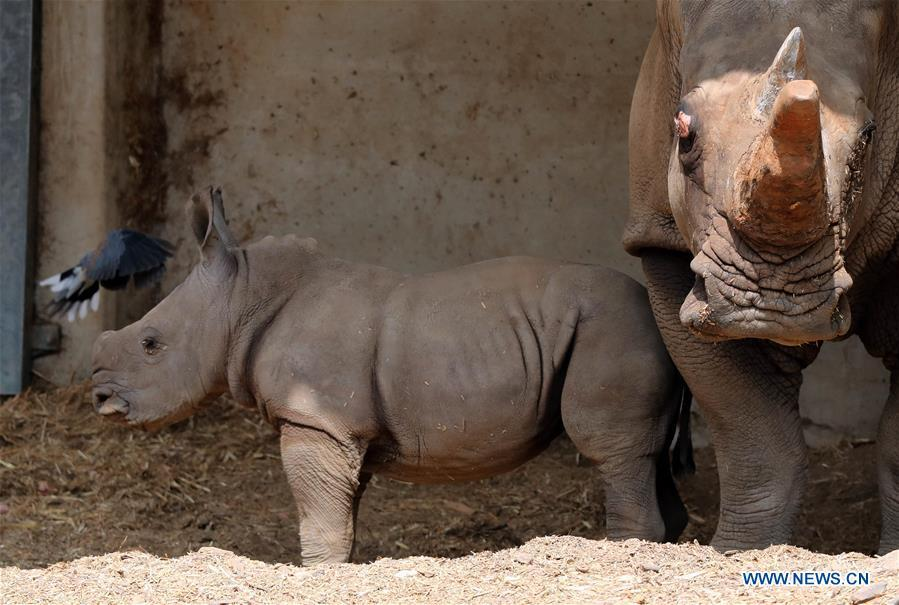 A three-week-old white rhinoceros stands next to her mother Tanda at the Ramat Gan Safari Park, an open-air zoo near the Israeli coastal city of Tel Aviv, on Sept. 17, 2018. The Ramat Gan Safari Park is the main zoo of the Tel Aviv area and is home to the largest collection of animals in the Middle East. (Xinhua/JINI/Gideon Markowicz)