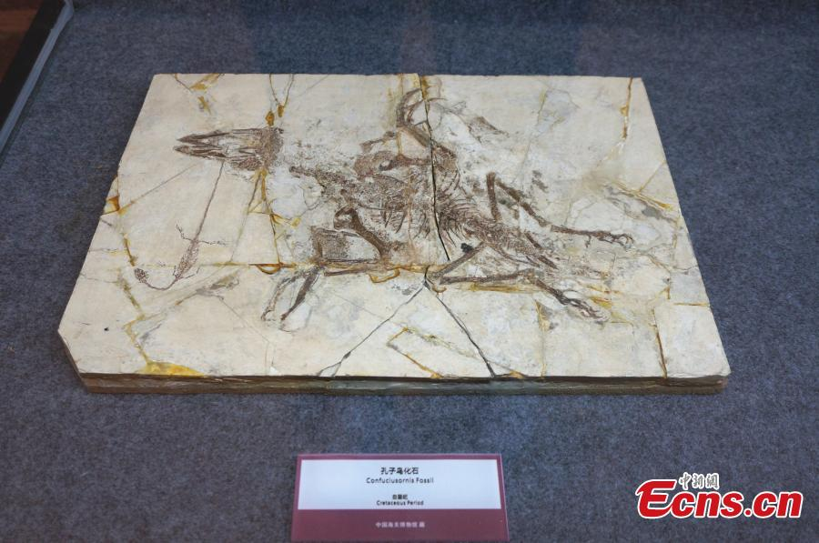 A collection of fossils returned from overseas has been displayed at a hotel in the city of Zhengzhou, capital of central China\'s Henan Province, on Monday. The nine exhibits include fossils of Beibeilong sinensis, Gansu tortoise, confuciusornis, a smilodon skull, and manchurochelys, with huge value to scientific research according to fossil experts.The Beibeilong sinensis fossil, a kind of dinosaur egg excavated in Henan in 1993, attracted the most attention among visitors. Measuring 118 cm long, it dates back at least 86 million years and was overseas for more than 20 years. In 2013, the fossil was returned to China and displayed in the Henan Geological Museum.(Photo: China News Service/ Han Zhangyun)