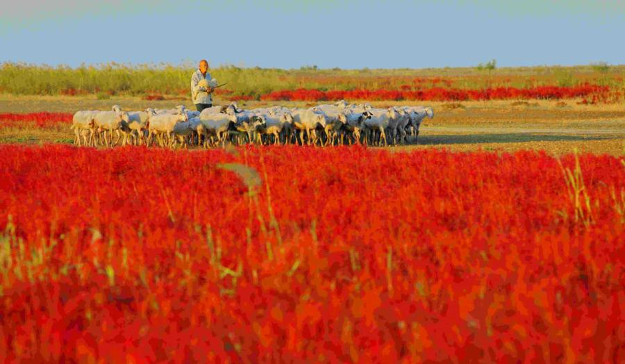 A local grazes livestock in the Yellow River estuary area.(Photo provided to chinadaily.com.cn)