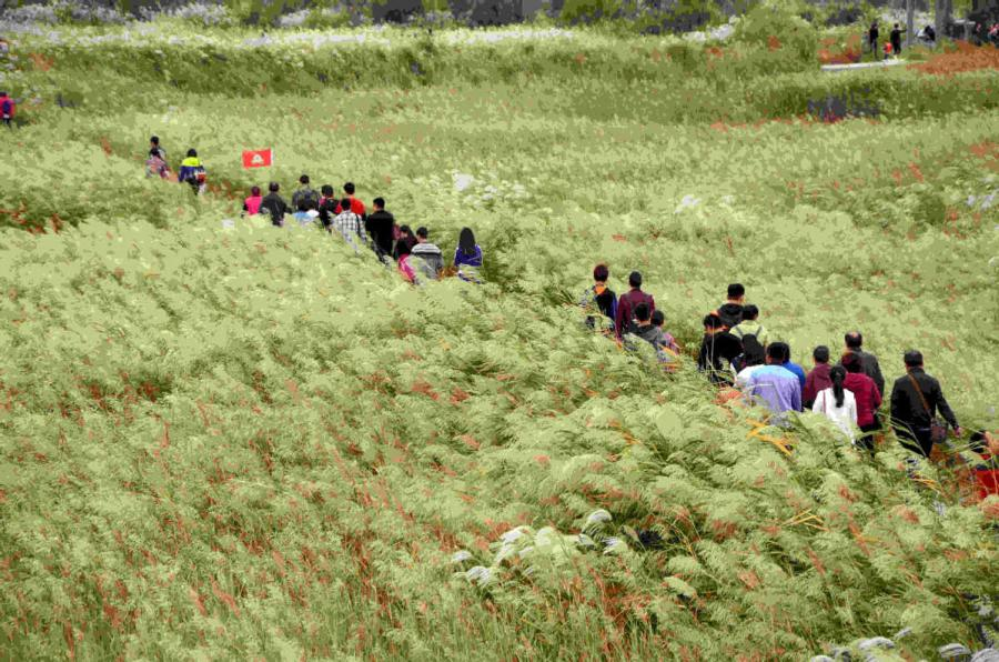 Tourists walk through a vast expanse of reeds spread across part of the Yellow River estuary area. (Photo provided to chinadaily.com.cn)