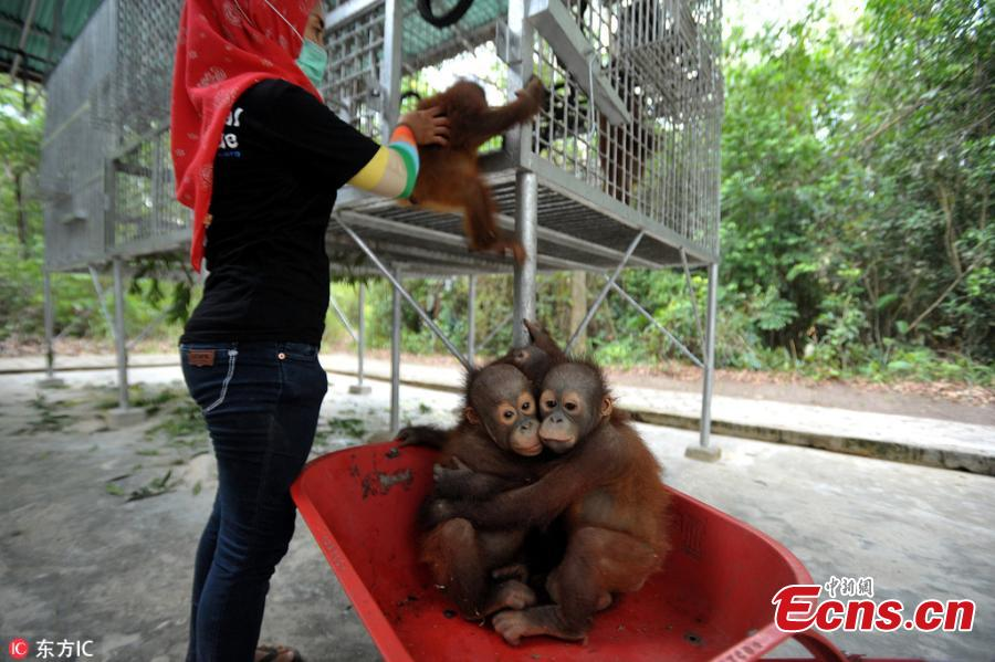 """A handler at the International Animal Rescue center in Ketapang, Indonesia use the barrows to take baby orangutans from their sleeping quarters to """"school"""" each morning, where they learn skills to help them survive in the wild. (Photo/IC)"""