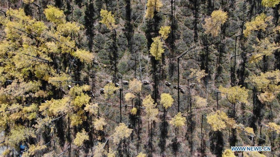 Photo taken on Sept. 18, 2018 shows a herd of reindeer roaming in Yue\'anli Forest Farm of Genhe forestry bureau in the Greater Khingan Mountains of north China\'s Inner Mongolia Autonomous Region. Staff members at Yue\'anli Forest Farm are responsible for the conservation and breeding work of reindeer in China. (Xinhua/Yu Yang)