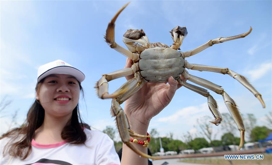 A tourist shows a freshly caught Chinese mitten crab during a tourist festival held ashore the Yangcheng Lake in Xiangcheng District of Suzhou, east China\'s Jiangsu Province, Sept. 19, 2018. The Chinese mitten crabs inhabiting Suzhou\'s Yangcheng Lake are a popular cooking ingredient for many food lovers. In the annual event which kicked off here on Wednesday, tourists will be able to have a taste of this year\'s first Chinese mitten crabs ready to serve the table, while the official netting of Yangcheng Lake crabs will begin on Sept. 21. (Xinhua/Hao Qunying)