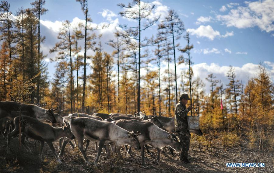 Forester Zhang Guohua replenishes fodder for reindeer in Yue\'anli Forest Farm of Genhe forestry bureau in the Greater Khingan Mountains of north China\'s Inner Mongolia Autonomous Region, Sept. 18, 2018. Staff members at Yue\'anli Forest Farm are responsible for the conservation and breeding work of reindeer in China. (Xinhua/Yu Yang)