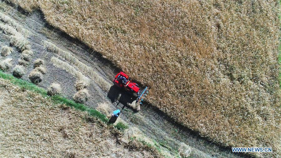Aerial photo shows farmers reaping highland barley in Lhaze County of Xigaze, southwest China\'s Tibet Autonomous Region, Sept. 13, 2018. The highland barley in Tibet is entering harvest season. (Xinhua/Purbu Zhaxi)