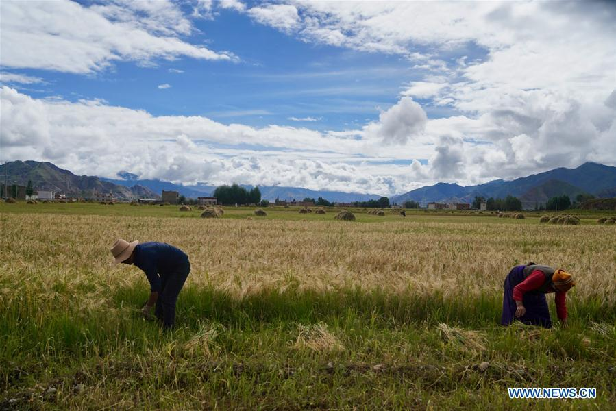 Farmers reap highland barley in Lhunzhub County of Lhasa, southwest China\'s Tibet Autonomous Region, Sept. 3, 2018. The highland barley in Tibet is entering harvest season. (Xinhua/Purbu Zhaxi)