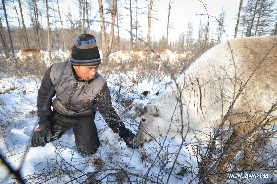 Forester Zhang Guohua feeds reindeer in Yue\'anli Forest Farm of Genhe forestry bureau in the Greater Khingan Mountains of north China\'s Inner Mongolia Autonomous Region, Dec. 23, 2017. Staff members at Yue\'anli Forest Farm are responsible for the conservation and breeding work of reindeer in China. (Xinhua/Li Renzi)