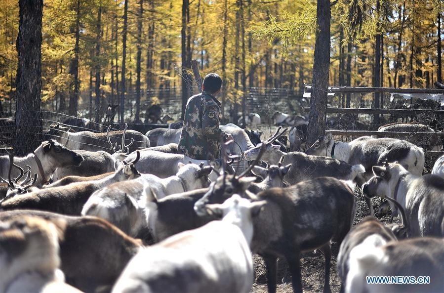 Forester Lian Lichen feeds reindeer in Yue\'anli Forest Farm of Genhe forestry bureau in the Greater Khingan Mountains of north China\'s Inner Mongolia Autonomous Region, Sept. 18, 2018. Staff members at Yue\'anli Forest Farm are responsible for the conservation and breeding work of reindeer in China. (Xinhua/Yu Yang)